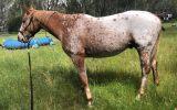Kirby on HorseYard.com.au (thumbnail)