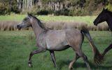 Kalody Park Silver Jude  on HorseYard.com.au (thumbnail)