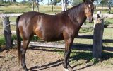 Arabian Warmblood Broodmare on HorseYard.com.au (thumbnail)