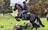 Young Friesian X on HorseYard.com.au (thumbnail)