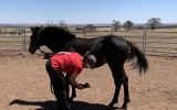 Dual Registered Waler gelding on HorseYard.com.au (thumbnail)