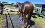 12yo Quiet Quarter Horse Gelding on HorseYard.com.au (thumbnail)