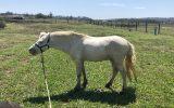 White Gelding Pony  on HorseYard.com.au (thumbnail)