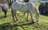 Lovely Broodmare/Companion  on HorseYard.com.au (thumbnail)