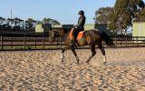 17hh 14yo TB Gelding on HorseYard.com.au (thumbnail)