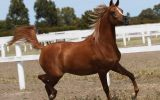 Arabian Filly For sale on HorseYard.com.au (thumbnail)