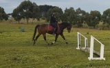 Flashy Riding Pony Gelding  on HorseYard.com.au (thumbnail)