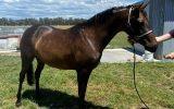 Quality Pony Mare on HorseYard.com.au (thumbnail)