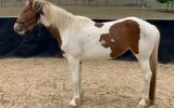 Clydesdale x stock horse on HorseYard.com.au (thumbnail)