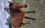 standard on HorseYard.com.au (thumbnail)