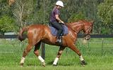 Arabian warmblood gelding on HorseYard.com.au (thumbnail)