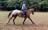 Fun, ready to ride alrounder on HorseYard.com.au (thumbnail)