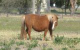 Miniature Horse Mare on HorseYard.com.au (thumbnail)