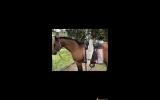 Registered mare & gelding for sale on HorseYard.com.au (thumbnail)