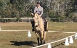 Buckskin SH x QH unregistered 15.2hh 8yo on HorseYard.com.au (thumbnail)