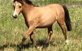 Welsh a colt on HorseYard.com.au (thumbnail)