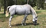 Arab x Percheron Gelding on HorseYard.com.au (thumbnail)