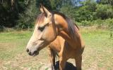 Beautiful Buckskin on HorseYard.com.au (thumbnail)