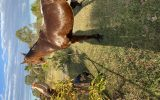 Boss on HorseYard.com.au (thumbnail)