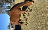 Boss tb on HorseYard.com.au (thumbnail)