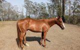 Beautiful Quiet Boy on HorseYard.com.au (thumbnail)