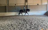 16.2 Bay/Brown Dressage Gelding on HorseYard.com.au (thumbnail)