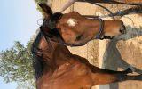 Stunning ASH x Filly on HorseYard.com.au (thumbnail)
