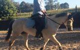 Fun TBxWelsh pony allrounder on HorseYard.com.au (thumbnail)