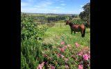 Matilda on HorseYard.com.au (thumbnail)