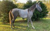 Burren-dah Valentino Bey x River Oak Arpege on HorseYard.com.au (thumbnail)