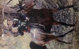 Lovely little mare on HorseYard.com.au (thumbnail)