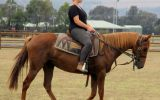Red Andalusian Gelding on HorseYard.com.au (thumbnail)