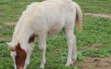 Chestnut Tovero Miniature Horse Colt on HorseYard.com.au (thumbnail)