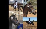 Eligible Newcomer on HorseYard.com.au (thumbnail)