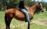 SUPER QUIET QH MARE on HorseYard.com.au (thumbnail)