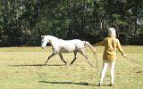 A.S.H. on HorseYard.com.au (thumbnail)