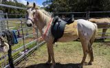Palomino Appaloosa gelding on HorseYard.com.au (thumbnail)