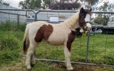Weanling Filly on HorseYard.com.au (thumbnail)