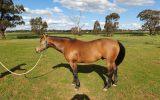 Woodstock Sergeant - Stunning Australian Sock Horse Gelding 11yo Buckskin - Joey on HorseYard.com.au (thumbnail)