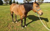 Woodstock Sergeant - Stunning Australian Stock Horse Gelding 11yo Buckskin - Joey on HorseYard.com.au (thumbnail)