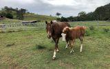Broodmare on HorseYard.com.au (thumbnail)