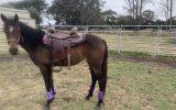 Stock horse on HorseYard.com.au (thumbnail)
