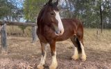 Cyldesdale x Suffolk Punch Mare 8yrs on HorseYard.com.au (thumbnail)