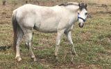 Smokey grey welsh gelding flashy little pony on HorseYard.com.au (thumbnail)
