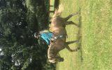13.2 Haflinger X Gelding 8 years old on HorseYard.com.au (thumbnail)