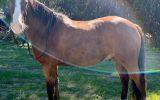 Irish Sport Horse x Waler 5yo 15.2hh gelding on HorseYard.com.au (thumbnail)