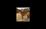 HANDSOME GELDING on HorseYard.com.au (thumbnail)