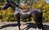 Riding Pony Filly on HorseYard.com.au (thumbnail)