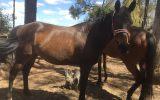 lucky on HorseYard.com.au (thumbnail)