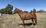 Chestnut Brumby Mare on HorseYard.com.au (thumbnail)